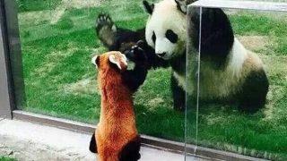 「パンダ・ミーツ・パンダ」夢の競演