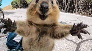 「世界一幸せな動物」クオッカ(クアッカ・ワラビー)は最も人懐っこい野生動物