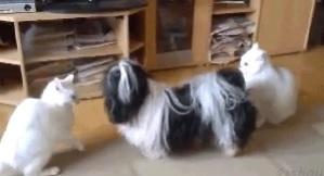 「我が家でケンカは禁止だワン!」猫どうしのケンカを仲裁する犬