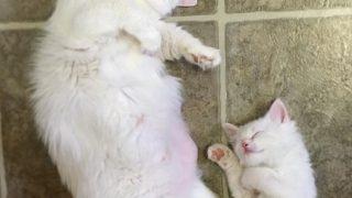 「母親似の子猫」そっくりな白猫親子のそっくりな寝姿