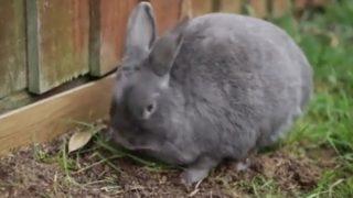 「作業完了!(バタッ)」ウサギが突然倒れる理由は?