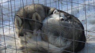 「犬とこども」ハスキーの親子愛が暖かい
