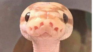 「ヘビを可愛いと思えるかもしれない、この世でたった一枚の写真?」