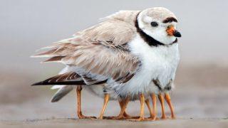 「親鳥の掛け値なしの愛情」アカデミー賞受賞作「ひな鳥の冒険(Piper)」のモデル