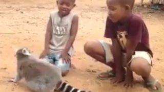 「あ~っ、気持ちいい。おい、おい、誰が止めていいって言ったんだよ」人間の子供をこき使うキツネザル