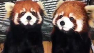 「レッドパンダ・キス」鏡のように動く2匹のレッサーパンダ