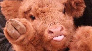 「こんにちは、べコです。」ぬいぐるみのような子牛