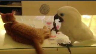 「ルーキーどうし?」お互いの武器を過小評価するオオムと猫