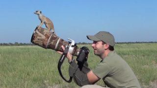 カメラマンの頭に登ったミーアキャット