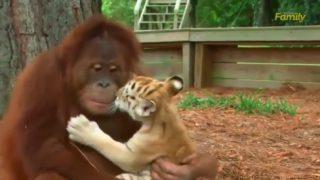 オラウータン、トラの子供を育てる