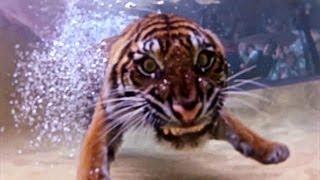 【オーストラリア動物園】泳ぐトラと「ジャンボ猫じゃらし」