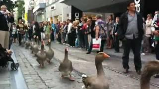 「ご覧、パレードが行くよ!」ベルギー・ガチョウの行進