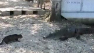 「フロリダの日常?」ワニを追い払う猫は勇敢なのか、あるいは愚かなのか?