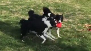 「ボーダー・コリーは最も頭のいい犬である」それを裏付ける映像がこれだ!