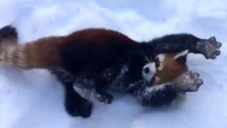 「なんにでも抱きついてやる!」やんちゃなレッサーパンダ、雪に大興奮!