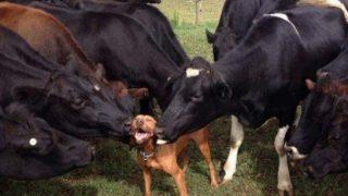 「牛は犬が好きなのか?」牛に愛されるピットブルとスパニエル