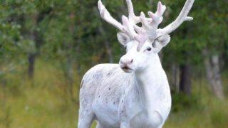 スウェーデンで目撃された白いトナカイの貴重で美しい一枚