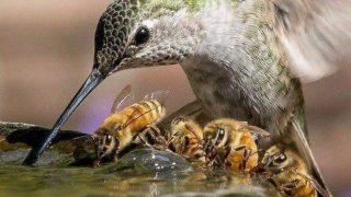 「ブンブン・ブランチ」一緒に食事するハチドリとハチ