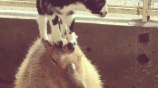 「動物界の禅僧?」子ヤギに移動式跳び箱扱いされても我慢するカビバラ