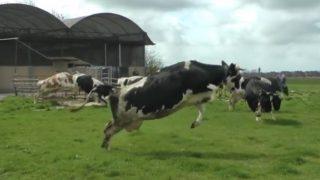 「春が来た!」幸せな牛たちの歓喜のダンス