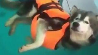 ハスキー、泳ぎを習う