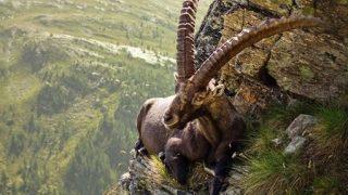絶景を眺める「アルプスの王様」ダムも登っちゃうアルプスアイベックス