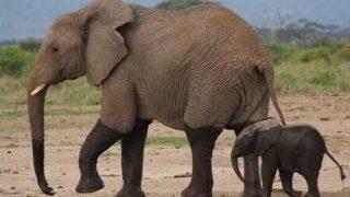 小ゾウの過酷な生活