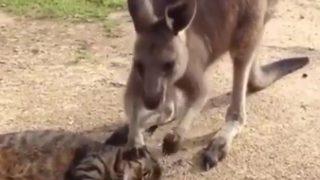 【悲報】カンガルーの愛を拒絶する猫