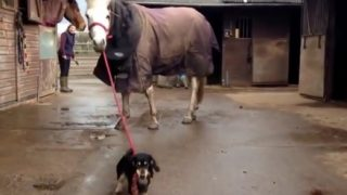 馬を散歩させるダックスフンド