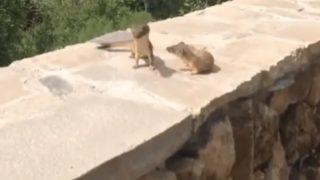 【貴重映像】「モタモタするな!」仲間を引きずりおろすオコジョ