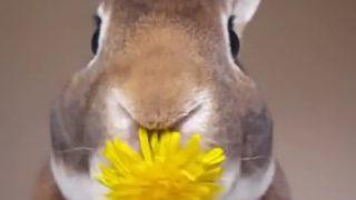 【KAWAIIどうぶつ動画】タンポポを美味しそうに食べるウサギ