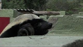 ギネス認定「世界一怖いもの知らずな動物」ミツアナグマは「動物界の脱獄王」だった