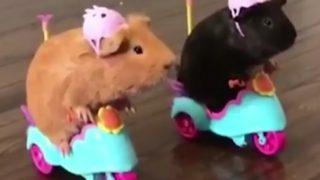 【お笑いか?動物虐待か?】ハムスター・ライダーズ・クラブ