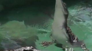 【驚愕】水中から尻尾の力だけで垂直ジャンプするワニ