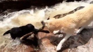 【海外の反応】「犬が犬を救う映像」に犬好きが示した当然すぎる疑問とは?