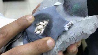 【海外の反応】麻薬密輸中の伝書バト、警察に捕獲される(クウェート)