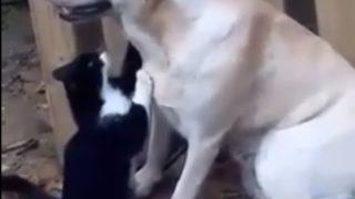 【海外の反応】お疲れ様です!犬にマッサージする猫