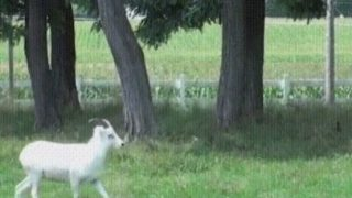 【海外の反応】「特技はヘディング」サッカーするヤギ