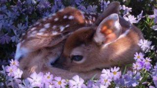 【海外の反応】お花畑で休む小鹿