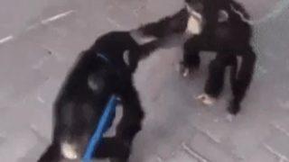 【海外の反応】チンパンジーの子供達「感動の再会」