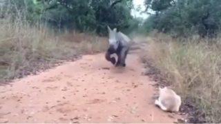 【海外の反応】「突進するシロサイの子供」その時、猫がとった行動は?