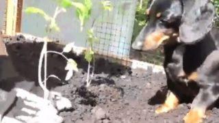 【世界の反応】犬とガーデニング好きの奥様必見!セレブ犬クルーゾー君の畑仕事