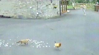 【海外の反応】英国の農場の朝は、ニワトリの悲鳴とトランクス男の怒号で始まる