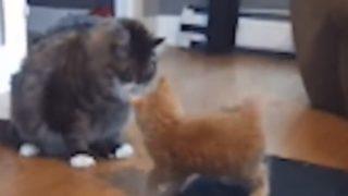【海外の反応】猫が実演「これが横綱相撲だ!」