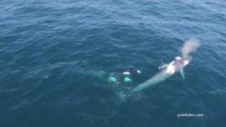【海外の反応】「地球史上最大の動物」に忍び寄る「海の殺し屋」