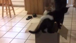 【海外の反応】『容赦ない待ち伏せ攻撃』を仕掛ける猫