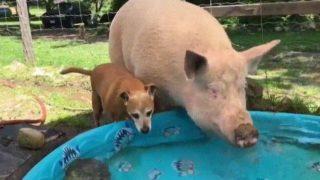 【海外の反応】「初めから、わかってたんだ…」ブタに水浴びに誘われた犬
