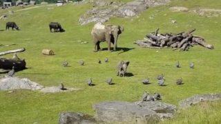 【海外の反応】ホロホロ鳥に夢中になりすぎて転ぶゾウの赤ちゃん