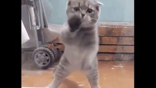 【海外の反応】ちょっぴりレトロなラテン系ダンスを踊る猫