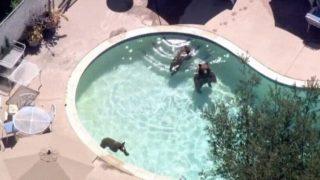 【海外の反応】プールで遊ぶクマの家族